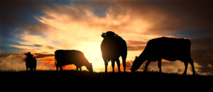 Herd of cows which can be insured by PRF crop insurance