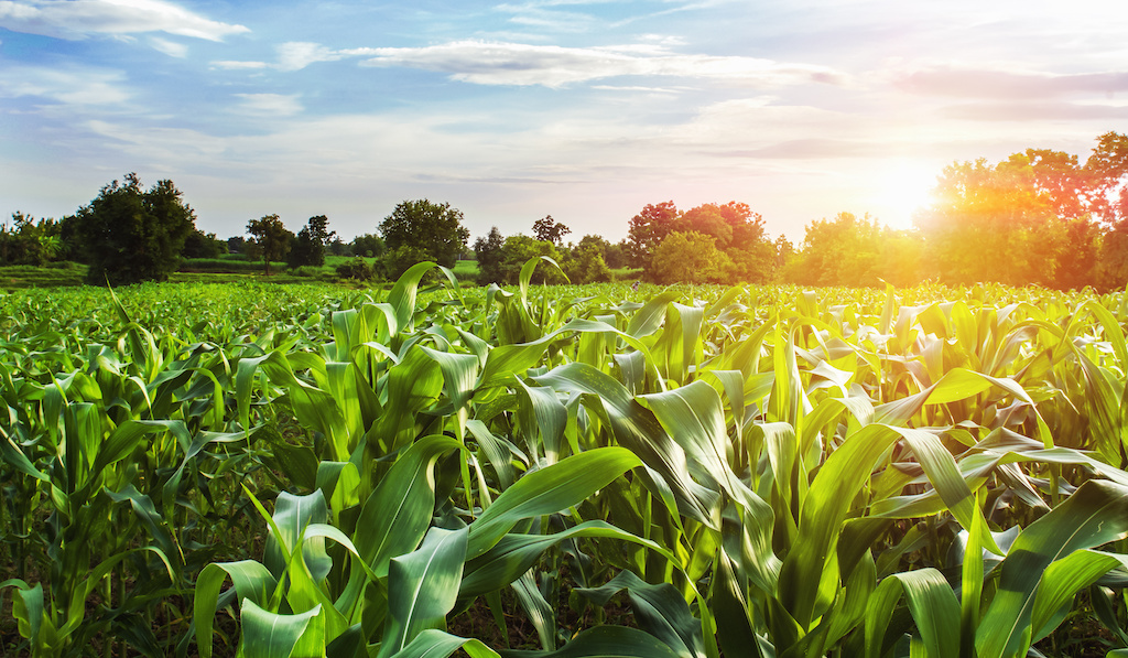 cornfield covered under multiple peril crop insurance