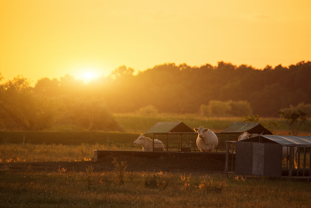 Cows on ranch at sunrise, which can be insured by a PRF insurance policy.